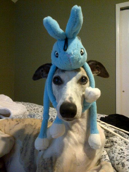 Whippet Dog With Cat Photos