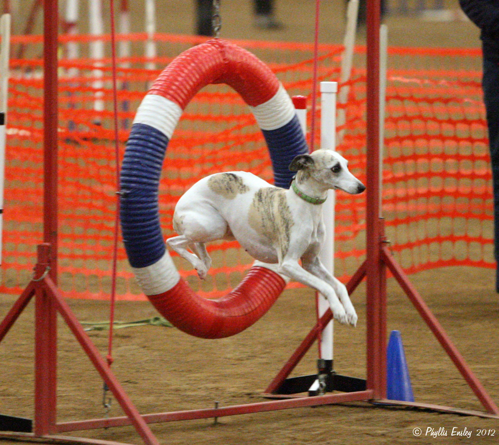 Rugby Dog Agility Show: American Whippet Club